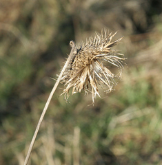 Distel - letztjährig - Asternartige, Korbblütler, Klettfrucht, Samen, Herbst, Frucht