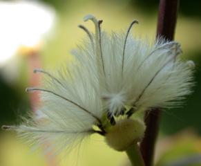 Clematis - Samen #2 - Clematis, Samen, Kletterpflanze, Klematis, Waldrebe, Flugsame, Samenverbereitung, Herbst
