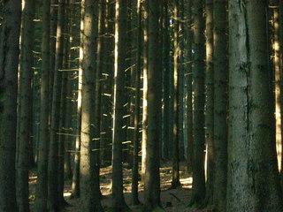 Fichtenwald - Fichte, Holz, Stangenwald, Monokultur, Streiflicht, Wald, Baumstamm, Baumstamm, Stamm, Stämme