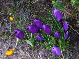 Frühlingsboten 2 - Frühlingsbote, Frühblüher, Park, lila, gelb, Krokus, Frühling, Jahreszeit