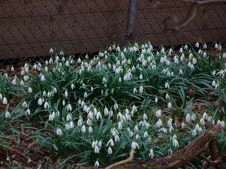 Frühlingsboten - Park, Frühlingsboten, Frühblüher, Schneeglöckchen, weiß, Frühling, Amaryllisgewächs