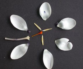 Krokusblüte #1 - Frühblüher, Schwertliliengewächse, Iridaceae, Staubgefäß, Blütenblatt, Blütendiagramm, Safran, Stempel
