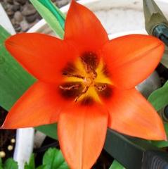Tulpe, geöffnet - Tulpe, Tulipa, Liliengewächs, Zwiebelblume, Schnittblume, Blüte, rot, symmetrisch