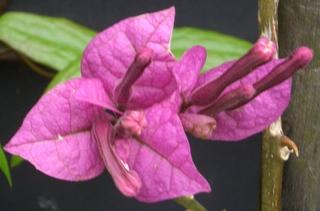 Bougainvillea - Kübelpflanze, Kletterpflanze, tropische, Drillingsblume, Wunderblumengewächs, Bougainvillea, Wunderblumengewächse, Strauch, Hochblatt, Blüte, pink, rosa