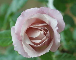 Rosenblüte - Draufsicht - Rose, Schnittblume, Knospe, Rosengewächs, Blüte, Blütenblätter, rosa, zart
