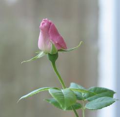Rosenknospe - Rose, Schnittblume, Knospe, Rosengewächs, Blütenblätter, geschlossen, rosa, Stiel