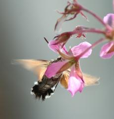 Taubenschwänzchen - an einer Blüte saugend - Taubenschwänzchen, Schwärmer, Wanderfalter, Hummelkolibri, Macroglossum stellatarum, Kolibrischwärmer, Schmetterling, Karpfenschwanz, Wollschweber