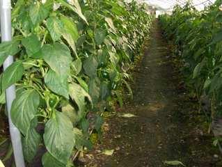 Paprikaplantage - Paprika, Capsicum, grün, Plantage, Nachtschattengewächs, Gewächshaus