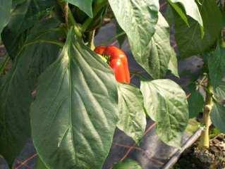rote Paprika - Paprika, Capsicum, rot, Gemüse, Frucht, Nachtschattengewächs