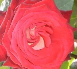 Rosenblüte - Rose, Schnittblume, Knospe, Rosengewächs, rot, Naturform, Draufsicht