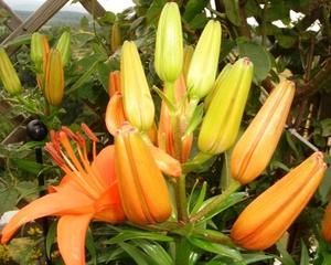 Taglilie - Taglilie, Hemerocallis, Tagliliengewächs, Ordnung der Asparagales, mehrjährige Staude, orange