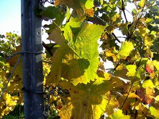 Weinblatt - Wein, Weinlaub, Weinblatt, Reben, Pfalz, Deutsche Weinstraße, Neustadt/Weinstraße, Trauben