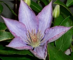 Clematis-Hybride - Waldrebe, Kletterpflnze, mehrjährig, Familie der Hahnenfußgewächse, lila, fliederfarben