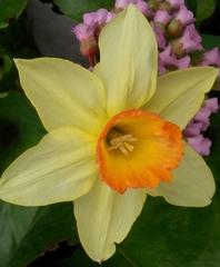 Narzisse - Narzisse, Narcissus, Osterglocke, Gattung der Amaryllisgewächse, einkeimblättrig, Zwiebelgewächs, Schnittblume