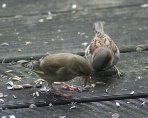 Streit um Futter - Fink, Sperlingsvogel, Singvogel, Carduelis chloris, Spatz, Sperling, Haussperling, Passer domesticus