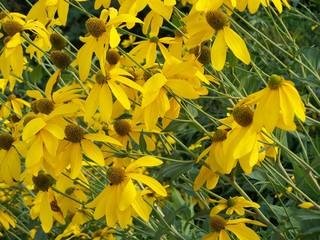 Sonnenhut - Blumen, gelb, Korbblütler, Echinacea, Heilpflanze