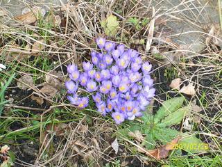 Krokusse - Krokus, lila, Büschel, Frühblüher, Frühling, Zwiebel