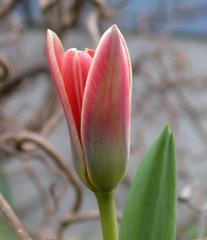 Tulpenblüte - Tulpe, Blüte, Gartenblume, Frühblüher
