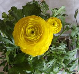 Ranunkel - Ranunkel, gelb, Hahnenfußgewächs, Frühblüher, krautig, mehrjährig, Blüte