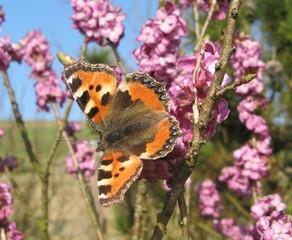 Schmetterling: Kleiner Fuchs - Schmetterling, Falter, Symmetrie, Kleiner Fuchs, flattern, Seidelbast