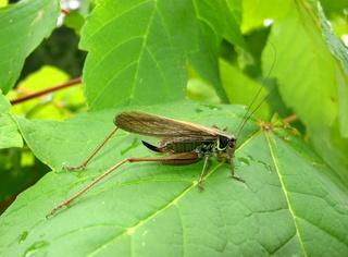 Heuschrecke #3 - Heuschrecke, Insekt, Blatt, Tier, Langfühlerschrecken, Kurzfühlerschrecken