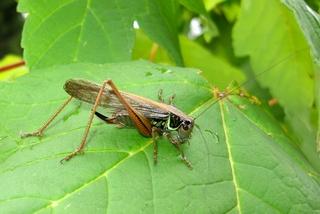 Heuschrecke #4 - Heuschrecke, Insekt, Blatt, Tier, Langfühlerschrecken, Kurzfühlerschrecken