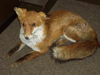 Fuchs - Waldtier, Fuchs, Fell, rotbraun, Präparat