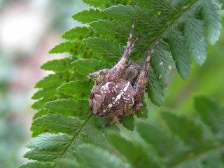 Kreuzspinne (Araneus diadematus) - Spinnen, Kreuzspinne