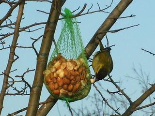 Vögel im Winter  - Vögel, Winter, Futter, Nusssäckchen, Fink, Grünfink, Hunger, Nahrungssuche, Fütterung, Winter, Standvogel