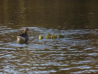 Graugansnachwuchs - Graugans, Wasservogel, Gans, Nestflüchter, Gewässer, Teich, Jungvögel, flauschig