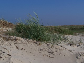 In den Dünen - Düne, Gras, Sand, Nordsee, Strandhafer, Sandrohr, Sandhalm, Dünenschutz, Küstenschutz, Erosionsschutz, Pionierpflanze