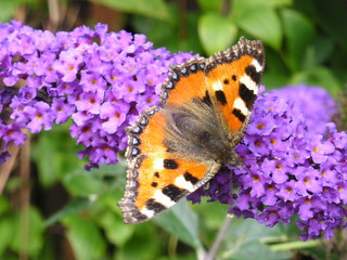 Kleiner Fuchs - Kleiner Fuchs, Schmetterling, Schmetterlingsflieder