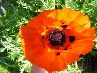 Mohnblüte I - Mohn, Blüte, Gartenblume, Blume