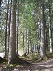 Spiel von Licht und Schatten - Wald, Bäume, Licht, Schatten, Baumstamm, Baumstämme, Rinde, Waldboden, Wurzeln, Stamm, Stämme