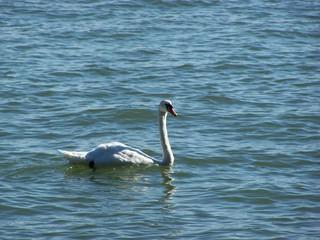 Der Schwan im See - Schwan, See, glitzernd, Vogel, weiß, Höckerschwan, schwimmen, Wasser