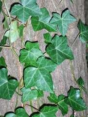 Efeu am Baum (Hedera helix) - Efeu, Hedera helix, Kletterpflanze, Stamm, Blatt, Blätter, Baum