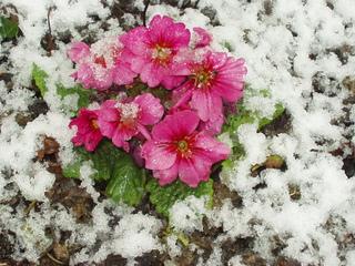 Primel im Schnee - Frühblüher, Primel, Schnee