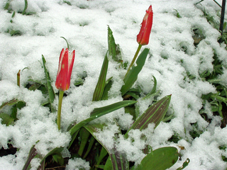 Tulpen im Schnee - Frühblüher, Tulpen, Winter, Schnee