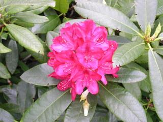 Rhododendronblüte - Rhododendron, Blüte