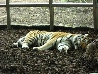 Tiger - Tiger, schlafen, Zoo, Raubtier, Großkatze, Katze, Raubkatze, Tarnung, Camouflage