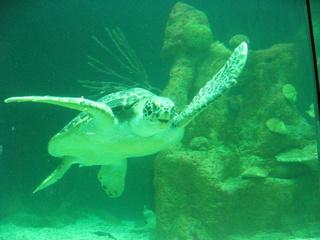 Meeresschildkröte #1 - Meer, Schildkröte, Zoo, schwimmen, Panzer