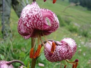 Türkenbund (Lilium martagon) - Türkenbund, Lilie, Lilium martagon, Alpen, Zwiebel, geschützte Pflanze, Türkenbundlilie, rosa, pink, Staubbeutel