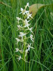 Zweiblättrige Waldhyazinthe (platanthera bifolia) - Orchidee, platanthera, zweiblättrig, Waldhyazinthe, platanthera bifolia, Wiese, Alpen