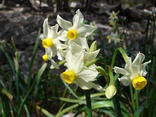 Buket-Narzisse (Narcissus tazetta L.) # 2 - Buket-Narzisse, Narcissus tazetta L., Narzisse, Mallorca, Frühlingblüher, Balearen, Frühblüher