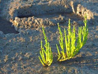 Queller (Salicornia europaea) - Watt, Landgewinnung, Pionierpflanze, salzige Böden, Geografie, Wattenmeer, Schlick, Biologie, Salzwiese, Ebbe, Nordsee, Küste, Pflanze, Lebensraum, Salzpflanze, temporäre Überspülung, Sand, hellgrün