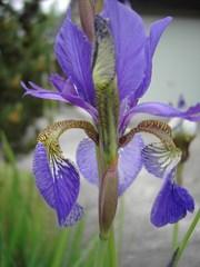 Schwertlilie - Schwertlilien, Liliengewächse, Blüte, Lilie, lila, Iris