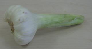 Knoblauch  - Allium sativum, Knoblauch, Knobi, Heilpflanze, Gewürzpflanze, Zwiebelgewächs