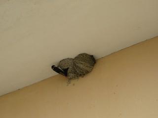 Schwalbe beim Nestbau - Schwalbe, Nest, Nestbau, Lehm, Naturschutz