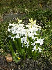 weiße Hyazinthe - Hyazinthe, weiß, Frühblüher, Gartenblume, Frühling, Blume, Zwiebelgewächs, Blüte