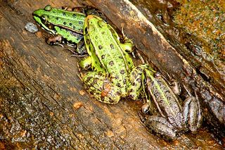 Drei Frösche  - Frosch, Kröte, Unke, wechselwarm, Amphibie, Tarnung, drei, Menge